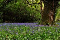 Tapis de jacinthe des bois Photo libre de droits
