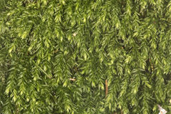 Tapis de mousse de thym sur le sol moite à la conserve de Belding, le Connecticut Image stock