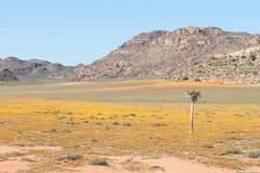Tapis des fleurs dans la réserve naturelle de Goegap Image libre de droits