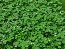 Tapis vert abondant de trèfle Images libres de droits