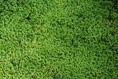 Tapis vert de Spikemoss sensible image stock