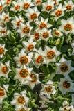 Tapis von weißen Tulpen in den Niederlanden stockfotos