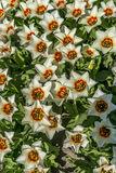 A tapis of white tulips in the Netherlands. Tulips from the Netherlands in the field Stock Photos