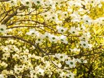 Tapisserie von weißen Hartriegel-Blüten Stockbilder