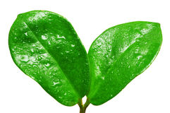 tappar nytt grönt leavesvatten Arkivbilder
