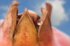 tappar pomegranatevatten Arkivfoton