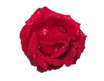 tappar rött rose vatten Arkivbild