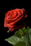 tappar rött rose vatten fotografering för bildbyråer
