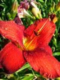 tappar rött vatten för liljan Royaltyfria Bilder