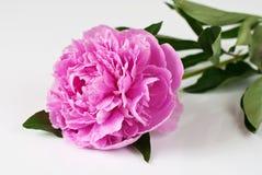 tappar rosa vatten för pionen Royaltyfria Bilder