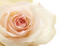 tappar rose vatten för makroen Royaltyfria Bilder