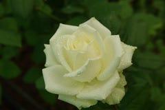 tappar white för rose vatten Royaltyfria Foton