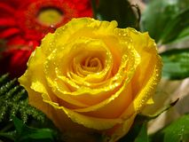 tappar yellow för rose vatten Arkivbild