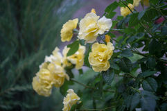 tappar yellow för rose vatten Royaltyfria Foton