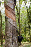 Tapped Rubber Tree, Malaysia. Tapping latex from a rubber tree Stock Images
