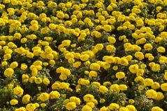 Tappeto dei tageti gialli Fotografia Stock