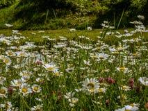 Tappeto dei wildflowers in primavera - 1 Fotografia Stock Libera da Diritti