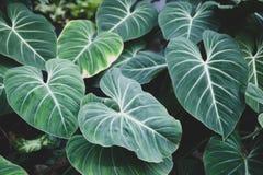 Tappeto del tono verde delle piante tropicali, fondo della molla di estate, modello alla moda tinto della giungla fotografia stock