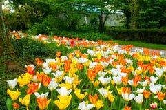 Tappeto del tulipano Fotografia Stock