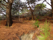 Tappeto dell'ago del pino Fotografia Stock Libera da Diritti