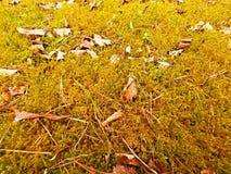 Tappeto della foresta Le vecchie foglie su muschio asciutto in foresta asciugano il muschio polveroso, aghi asciutti del pino Fotografia Stock Libera da Diritti