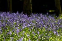 Tappeto delle campanule in legno di faggio, Buckinghamshire, Inghilterra Regno Unito Fotografie Stock Libere da Diritti