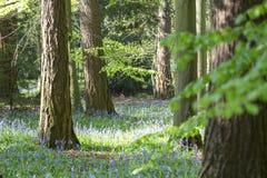 Tappeto delle campanule in legno di faggio, Buckinghamshire, Inghilterra Regno Unito Fotografia Stock