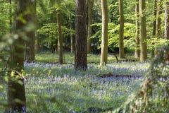 Tappeto delle campanule in legno di faggio, Buckinghamshire, Inghilterra Regno Unito Immagine Stock Libera da Diritti