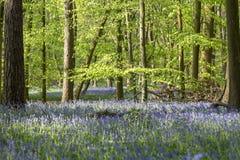 Tappeto delle campanule in legno di faggio, Buckinghamshire, Inghilterra Regno Unito Immagini Stock