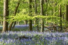 Tappeto delle campanule in legno di faggio, Buckinghamshire, Inghilterra Regno Unito Fotografie Stock