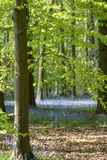 Tappeto delle campanule in legno di faggio, Buckinghamshire, Inghilterra Regno Unito Fotografia Stock Libera da Diritti