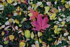 Tappeto delle foglie di acero di autunno Fotografia Stock