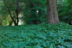 Tappeto delle piante intorno all'albero Fotografia Stock Libera da Diritti