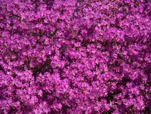Tappeto floreale dei rododendri di fioritura fotografie stock