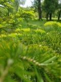 Tappeto giallo verde fatto dei rami e degli aghi dell'abete immagini stock libere da diritti