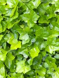Tappeto Ivy Covers Wall del primo piano Immagine Stock