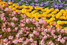 Tappeto luminoso del fiore Giardino in estate Immagine Stock