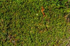 Tappeto verde del lingonberry Fotografia Stock Libera da Diritti
