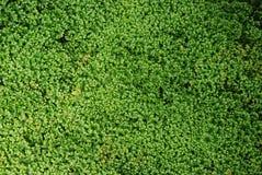 Tappeto verde di Spikemoss delicato immagine stock