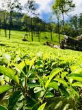 Tappeto verde: tè del Ceylon fotografie stock libere da diritti