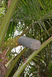 Tapping coconut tree flower blossoms for the sap by using container to produce sugar Royalty Free Stock Image