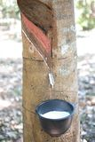 Tapping latex dripping to black plastic cup from rubber tree in northern Thailand Royalty Free Stock Images