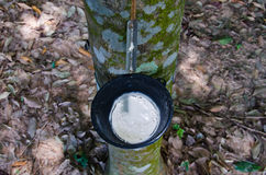 Tapping latex from a rubber tree Royalty Free Stock Images