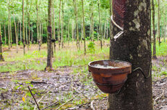 Tapping latex from a rubber tree Stock Photos
