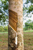 Tapping latex from Rubber tree Stock Image