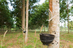 Tapping latex from Rubber tree Royalty Free Stock Image