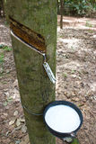 Tapping latex. From a rubber tree Stock Photos