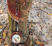 Tapping latex from a rubber tree Royalty Free Stock Image