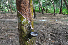 Tapping latex from a rubber tree Royalty Free Stock Photography