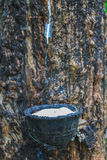Tapping latex from a rubber tree Royalty Free Stock Photo